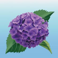 3色紫陽花