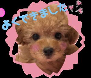 トイプードル花梨ちゃん